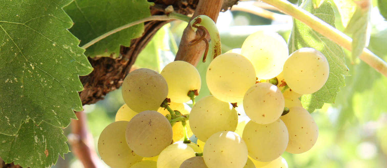 Uva bianca da cui si produce il Verdicchio Baldarelli
